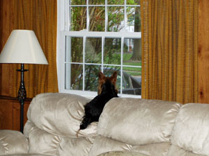 dark dog on light sofa